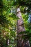 巨型美国加州红杉红木森林,罗托路亚,新西兰 免版税库存图片