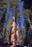 巨型美国加州红杉结构树 免版税库存照片