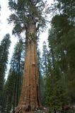 巨型美国加州红杉结构树 图库摄影
