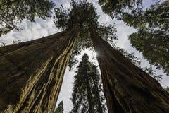 巨型美国加州红杉结构树 库存照片