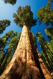 巨型美国加州红杉 库存照片