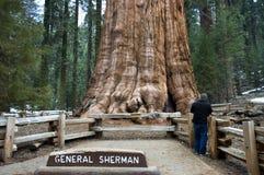 巨型美国加州红杉 图库摄影