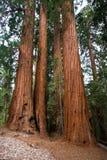 巨型美国加州红杉 免版税图库摄影