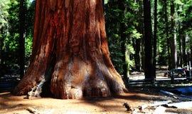 巨型美国加州红杉 免版税库存照片