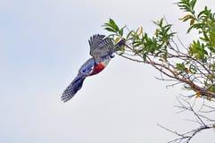 巨型翠鸟 库存照片