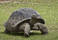 巨型草龟关闭 库存图片