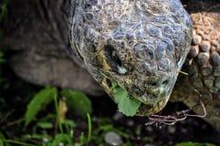 巨型草龟吃草 库存照片