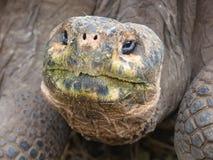 巨型草龟和头 免版税库存照片