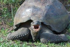 巨型草龟在加拉帕戈斯群岛 库存图片