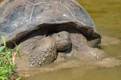巨型草龟在加拉帕戈斯群岛 图库摄影