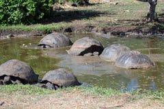 巨型草龟在加拉帕戈斯群岛 免版税库存图片