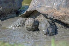巨型草龟在加拉帕戈斯群岛 库存照片