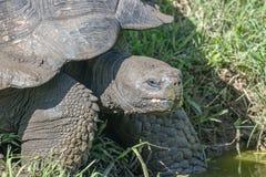 巨型草龟在加拉帕戈斯群岛 免版税库存照片