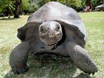 巨型草龟在塞舌尔 免版税库存照片