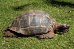 巨型草龟慢慢地移动在草 免版税库存图片