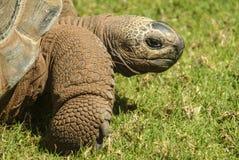 巨型草龟慢慢地移动在草 免版税图库摄影