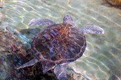 巨型草龟游泳 免版税库存图片