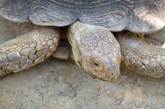 巨型草龟的储蓄图象 免版税库存照片