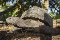 巨型草龟的画象 库存图片