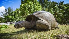 巨型草龟的画象 免版税库存图片