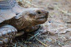 巨型草龟的面孔 免版税图库摄影