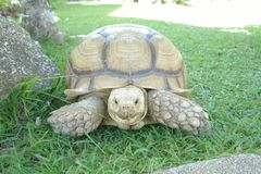 巨型草龟看看照相机背景 免版税库存图片