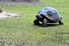 巨型草龟走 免版税库存图片