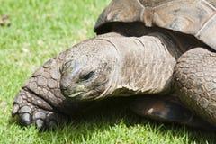 巨型草龟阿尔达布拉环礁 免版税库存照片