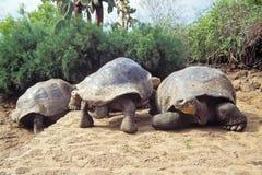 巨型草龟,加拉帕戈斯群岛,厄瓜多尔 免版税库存图片