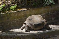 巨型草龟, Mahe,塞舌尔群岛 库存照片