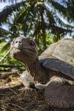 巨型草龟5的画象 图库摄影