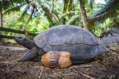 巨型草龟6的画象 库存图片