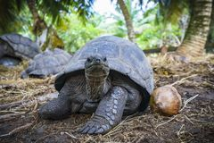 巨型草龟7的画象 免版税图库摄影