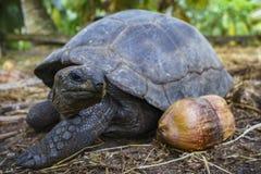 巨型草龟11的画象 免版税库存照片