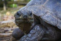 巨型草龟15的画象 图库摄影