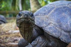 巨型草龟21的画象 库存图片