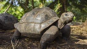 巨型草龟31的画象 免版税库存图片