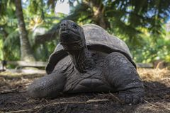 巨型草龟34的画象 库存图片