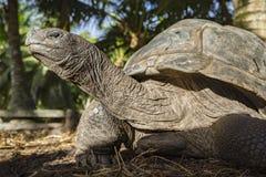 巨型草龟40的画象 免版税库存图片