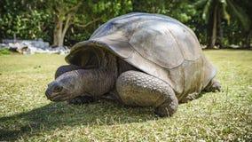 巨型草龟54的画象 库存图片