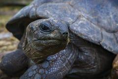 巨型草龟12的画象 免版税图库摄影