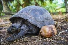 巨型草龟8的画象 免版税图库摄影