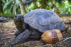 巨型草龟22的画象 库存图片