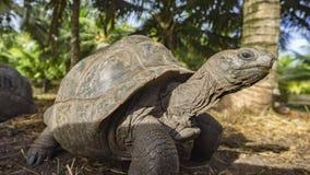 巨型草龟31的画象 库存图片