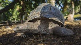 巨型草龟37的画象 免版税库存图片