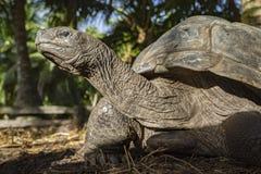 巨型草龟41的画象 库存图片