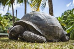 巨型草龟51的画象 免版税库存图片