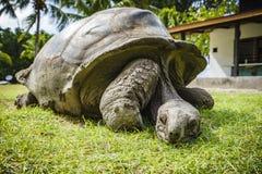 巨型草龟45的画象 图库摄影