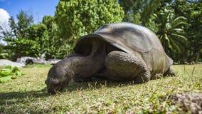巨型草龟55的画象 免版税库存图片