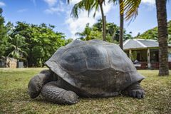 巨型草龟53的画象 免版税库存照片